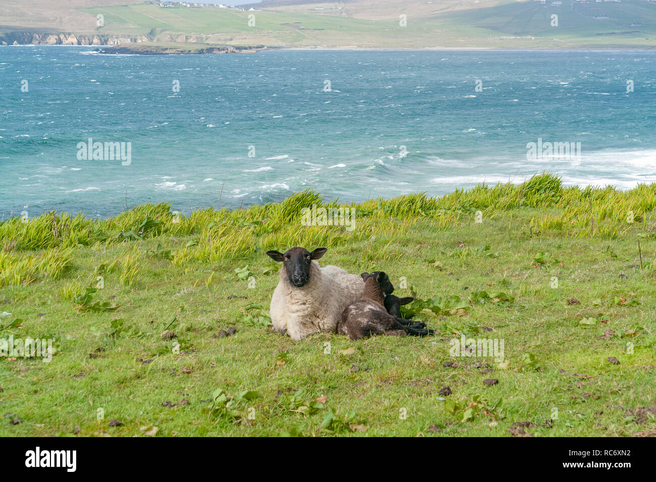 coastal scenery including a sheep on a meadow in Ireland - Stock Image