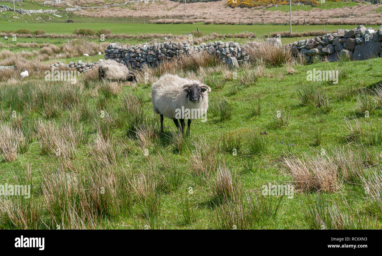 some sheep on a meadow in Ireland - Stock Image