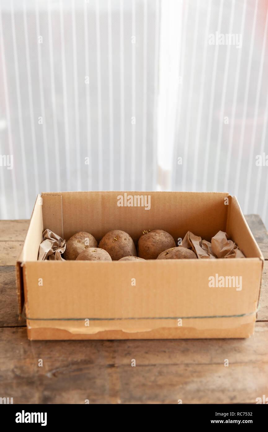 Potatoes chitting by a window - Stock Image
