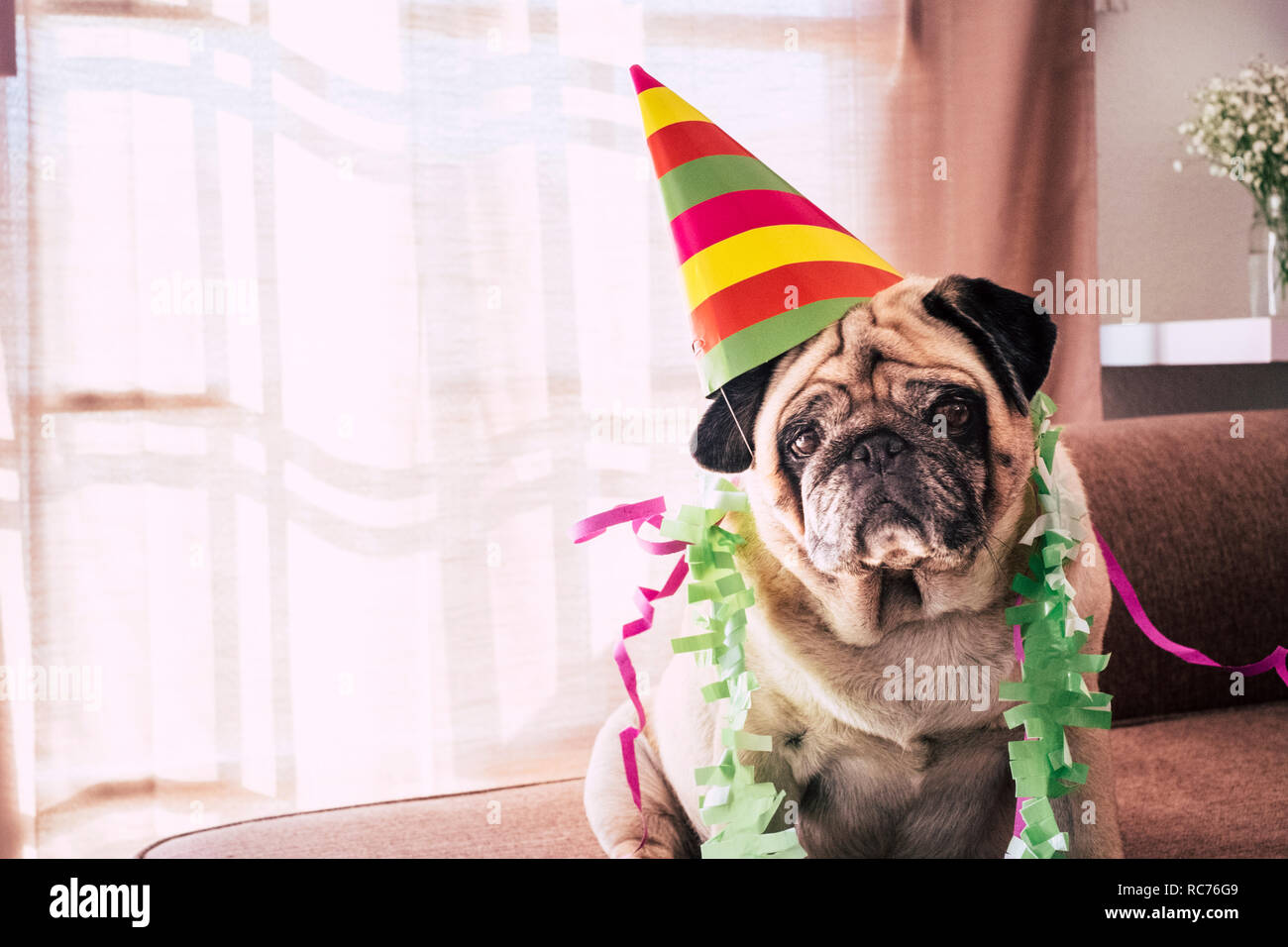 Carnival celebration or birthday anniversary for special funny old dog pug with party hat and sad serious funny expression - indoor event activity for - Stock Image