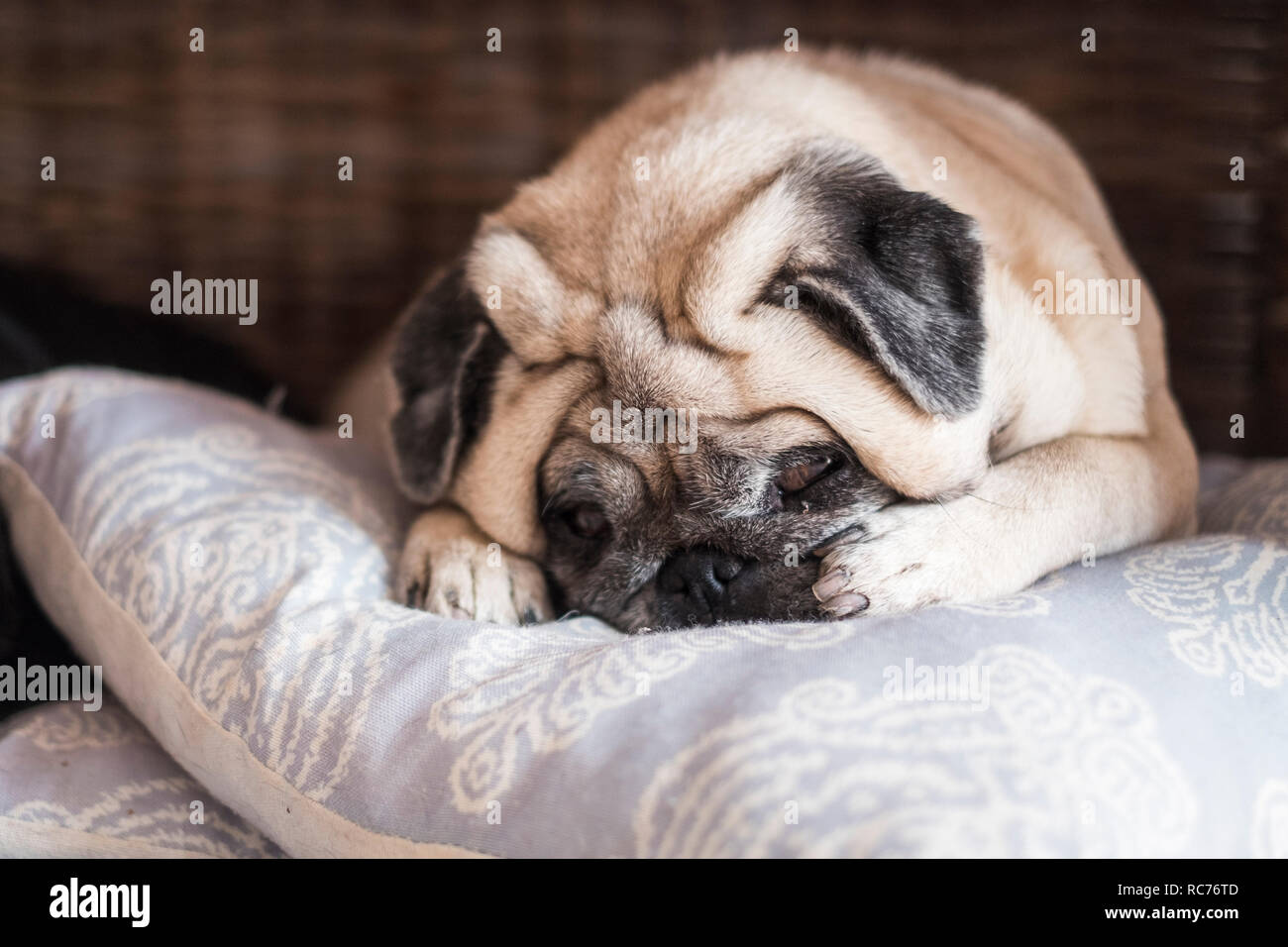 Lovely dog pug sleeping on the pillow with face in the middle of paws and look to you with sweet expression - best friends in indoor home lazy activit - Stock Image