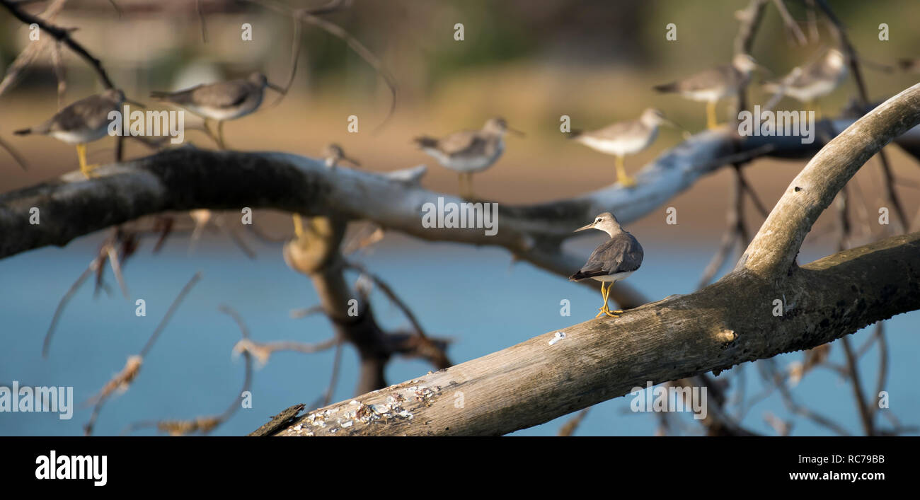 Grey-tailed Tattler, Heteroscelus brevipes - Stock Image