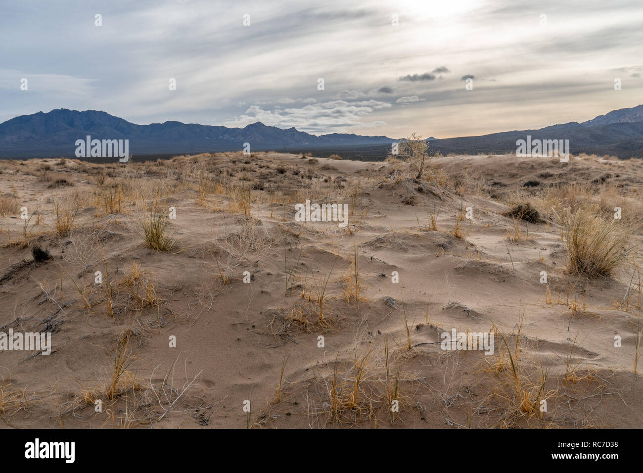 Plants roots holding on to sand creating little mounds around themselves, Kelso Dunes, Mojave National Preserve, California Stock Photo