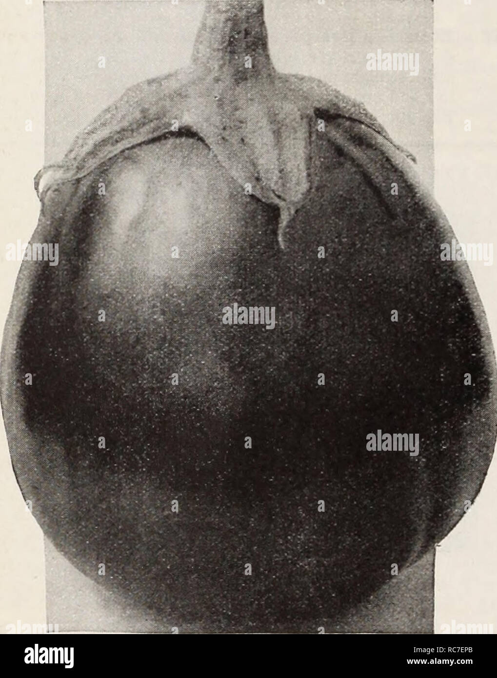 . Dreer's garden book / Henry A. Dreer.. Nursery Catalogue. ^ RELIABLE VEGETABLE SEEM Egg Plant A ubergine, Fr. Berenjena, Sp. Petonciano, Ital. Eierfrucht, Ger. One ounce will produce about 1000 plants. Culture —Egg Plant seed requires a higher temperature for germination than any other vegetable and this temperature should be maintained right along in order to maintain strong and healthy growth. Sow the seed in hotbeds early in March. When 3 inches high, pot the young plants, using small pots, and plunge them in the same bed so that the plants may become stocky. They can be planted out from  Stock Photo