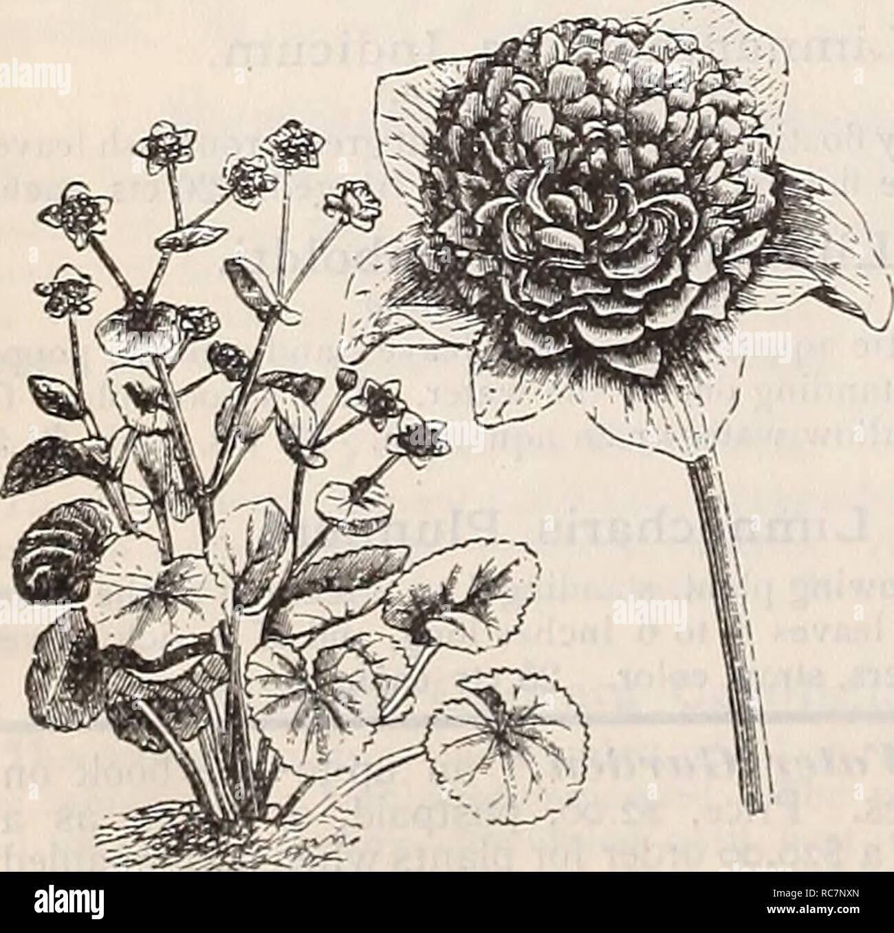 """. Dreer's garden calendar : 1898. Seeds Catalogs; Nursery stock Catalogs; Gardening Catalogs; Flowers Seeds Catalogs; Vegetables Seeds Catalogs. Ouvirandra Fenestralis. MISCEI^LANEOUS HARDY AQUATICS. Acorus Japonica Varieg-ata (Varieg-ated Sweet Flag"""") . 1 he foliage of this plant is beautifully striped with white. It grows well in dry or moist soils. One of the finest variegated plants in cultivation. 25 cts. each; §2 50 per doz. Acorns Gramineus Varieg-atus. Dwarf growing, with leathery leaves, beautifully margined with white; a handsome plant for margins or pot culture. 20 cts. each. B - Stock Image"""
