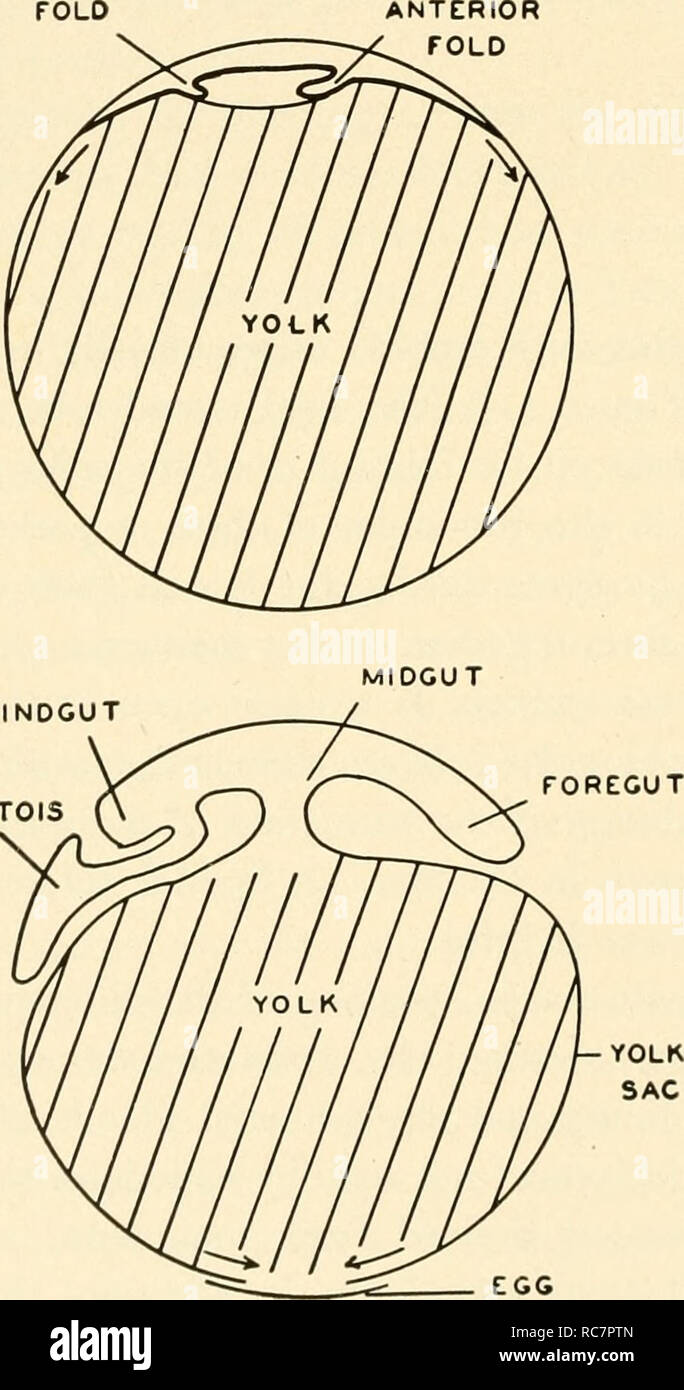 . Embryology. Embryology; Embryology; genealogy. POSTERIOR FOLD ALLANTOIS. Fig. 111. The formation of the embryo digestive tract, the yolk sac, and the allantois. Top: The endo- derm first arises as a flat sheet of cells. Center: The endoderm grows over the surface of the yolk. In the embryonic area an anterior fold of the endoderm forms the foregut, while a posterior fold forms a hind- gut. The midgut communicates di- rectly with the yolk. Bottom: With lateral folding as described in Fig- ure 103, the opening into the mid- gut becomes constricted and the endoderm of the embryo remains connect - Stock Image