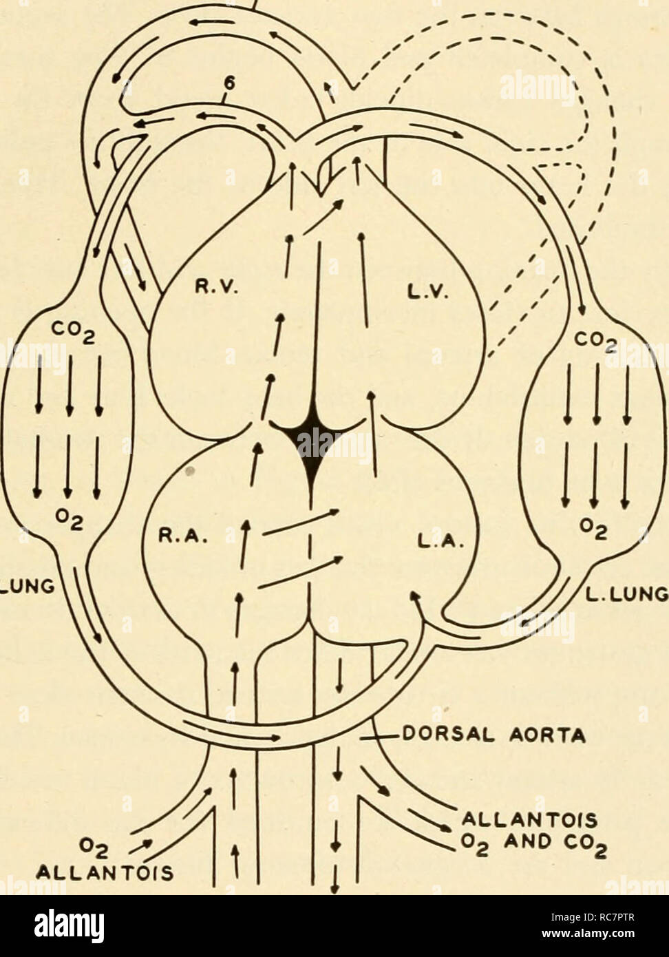 . Embryology. Embryology; Embryology; genealogy. CHANGES IN CIRCULATION WITH HATCHING 183 bloods pass to both the right ventricle and the left auricle. When relaxation of the ventricle occurs, the blood passes into both right and left ventricles. From the left ventricle the blood is forced into the fourth aortic arch, which joins the dorsal aorta. Branches supply the head region. The blood from the right ventricle passes out through the sixth aortic arch and most of it RIGHT SIDE LEFT SIDE. R. LUNG °2 <*J ALLANTOIS ALLANTdS 0, AND CO. C02 C02 AND 02 EMBRYO EMBRYO Fig. 110. The path of the b - Stock Image