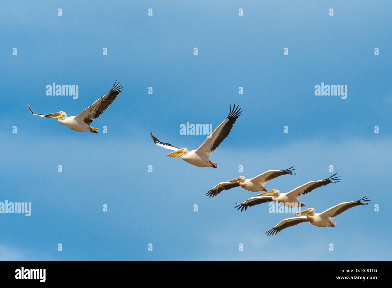 flying group of pelicans - Stock Image