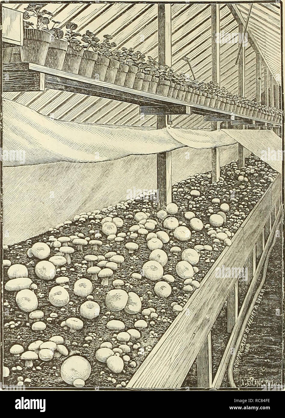 """. Dreer's garden calendar : 1891. Seeds Catalogs; Nursery stock Catalogs; Gardening Catalogs; Flowers Seeds Catalogs; Fruit Seeds Catalogs. 28 DREER'S RELIABLE SEEDS Mu5Kroom5. Champignonhrot, Ger. Champignon, Fe. Seia 6 Muevas de Hongos, Sp. The cultivatiou of this nutritious escu- lent is a vei'V"""" simple matter and requires only ordinary intelligence and care. The materials needed are fresli horse manure, good soil and live s^pawn. Tlie manure sliould not be too short, as it does not combine the necessary qualities. Longstrawy litter, plentifully mixed with shor^ manure, maizes by far t - Stock Image"""