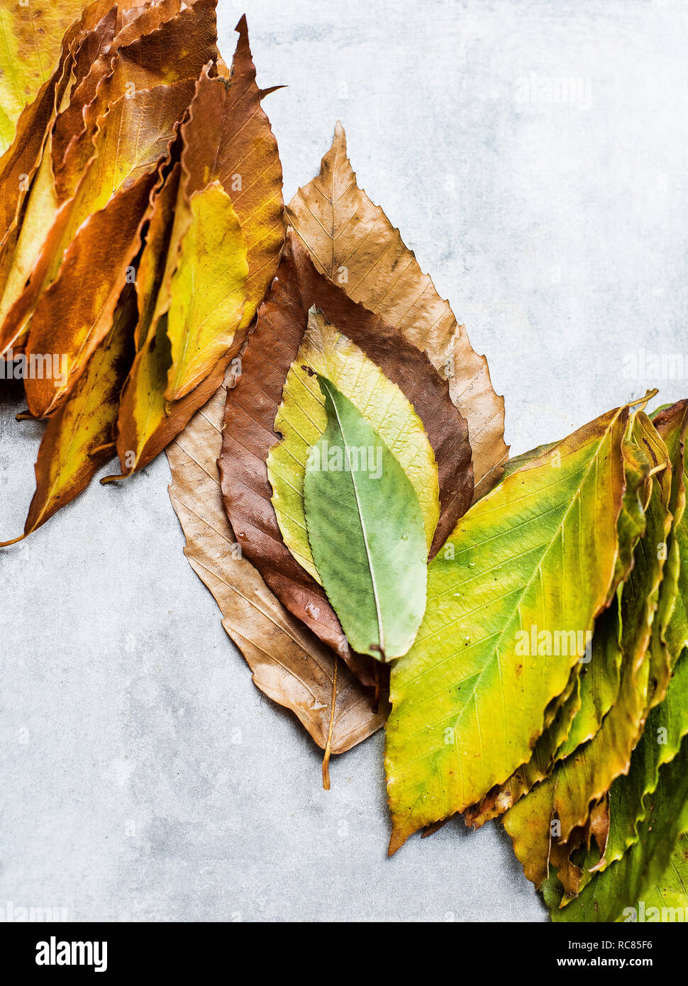 Gathered leaves ordered into autumn colours, still life, overhead view - Stock Image