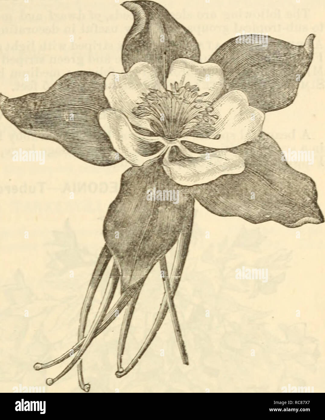 . Dreer's garden calendar : 1880. Seeds Catalogs; Nursery stock Catalogs; Gardening Catalogs; Flowers Seeds Catalogs. Drccr 's Garden Calendar. 85 -Rocky Mountain Columbine. AIV1PEL0PSIS VEITCHI—Miniature Virginia Creeper. An introduction from Japan which has proven entirely hardy. It grows as rapidly as the old Virginia creeper, and attains a height of 50 feet. It clings firmly to any wall, tree, etc. The leaves are small on young plants, which at first are of an olive green brown color, changing to bright scarlet in theautumn. As the plant acquires age the leaves increase in size. This varie - Stock Image