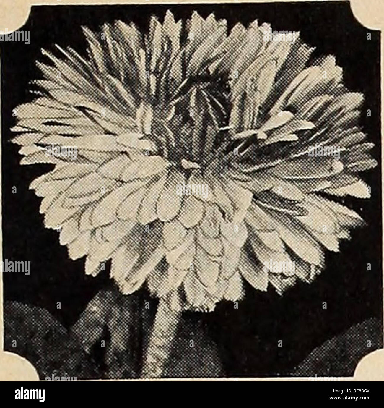 . Dreer's garden book for 1941. Seeds Catalogs; Nursery stock Catalogs; Gardening Equipment and supplies Catalogs; Flowers Seeds Catalogs; Vegetables Seeds Catalogs; Fruit Seeds Catalogs. HENRY A. DREER, Inc., Philadelphia, Pa.. Bellis, English Daisy BelliS English Daisy ® A <D Our special strain produces fully double flowers of truly enormous size. They bloom profusely from early spring until late fall. Plant in soil which is moderately moist and does not lack fertility. 6 in. 1491 Giant Double Crimson (New). Pkt. 25c; special pkt. 75c. 1494 — Double White. Pkt. 15c; large pkt. 60c. 1500 D - Stock Image