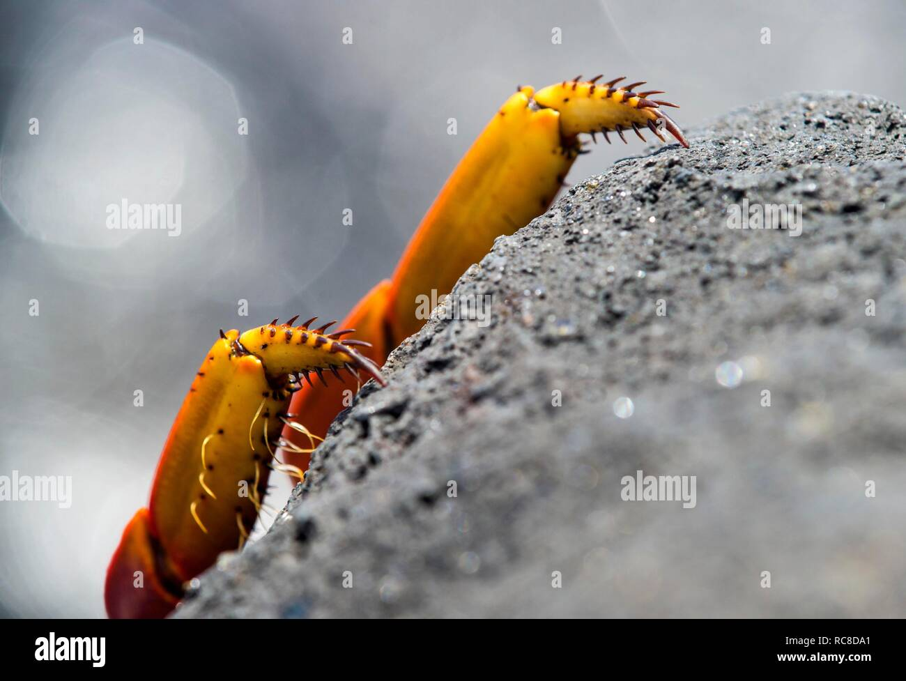 Feet of Red rock crab (Grapsus grapsus) cling to volcanic rock, family of marsh crabs (Grapsidae), island Floreana - Stock Image