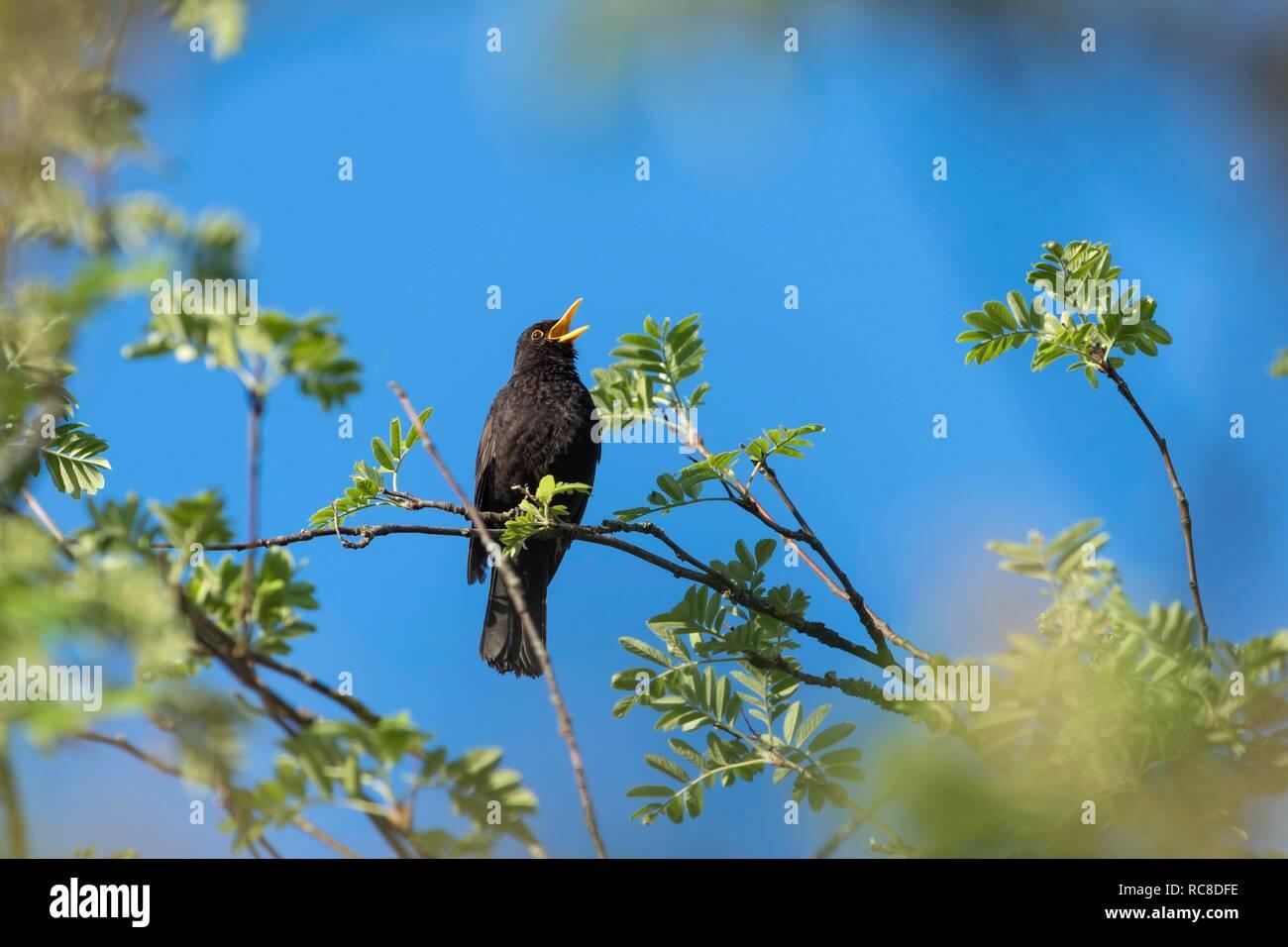 Blackbird (Turdus merula), male sings, spring, Bavaria, Germany Stock Photo