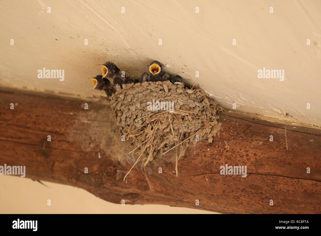 Tiny, baby, Swallow chicks with open mouths (beaks) in nest being fed by parent. Stock Photo