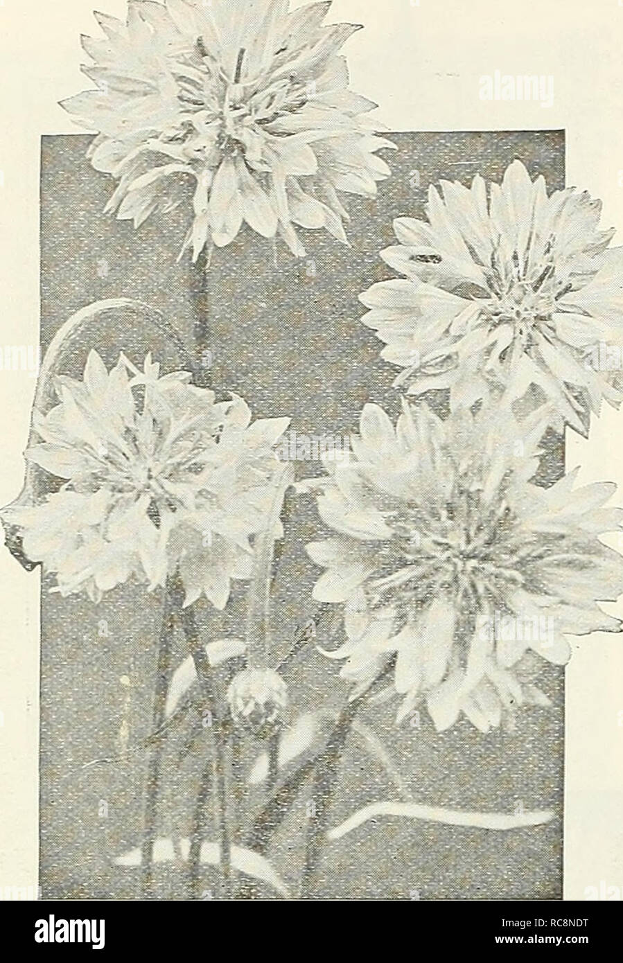 . Dreer's garden book 1926. Seeds Catalogs; Nursery stock Catalogs; Gardening Equipment and supplies Catalogs; Flowers Seeds Catalogs; Vegetables Seeds Catalogs; Fruit Seeds Catalogs. 78 /flEWyAJREE^ RELIABLE FLOWER SEEDS >HlMllEIiPM%. D..' I 11, r I M a ',L  (. Y .xus (Cornflower) Centaurea Imperialis (Royal Sweet Sultans) This beautiful class is undoubtedly the finest of all Sweet Sultans for cut-flower purposes. The charming, sweet-scented, artistic- shaped flowers are borne on long, strong stems and when cut will stand for several days in good condition. It is best, in this latitude, t Stock Photo