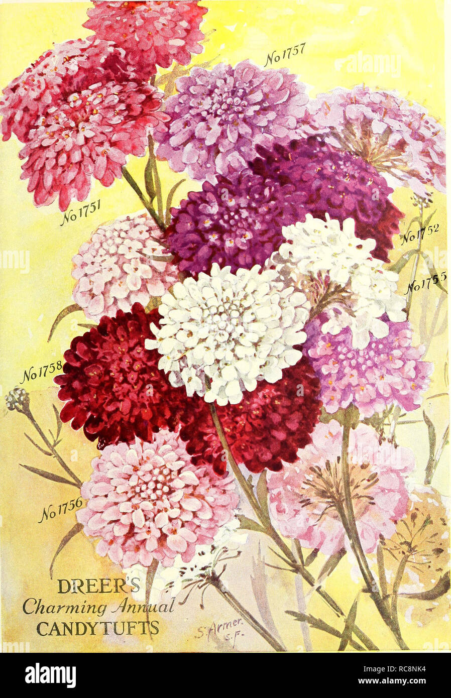 . Dreer's garden book 1926. Seeds Catalogs; Nursery stock Catalogs; Gardening Equipment and supplies Catalogs; Flowers Seeds Catalogs; Vegetables Seeds Catalogs; Fruit Seeds Catalogs. Charming CANDYTUF. Please note that these images are extracted from scanned page images that may have been digitally enhanced for readability - coloration and appearance of these illustrations may not perfectly resemble the original work.. Henry A. Dreer (Firm); Henry G. Gilbert Nursery and Seed Trade Catalog Collection. Philadelphia, Pa. : Henry A. Dreer Stock Photo