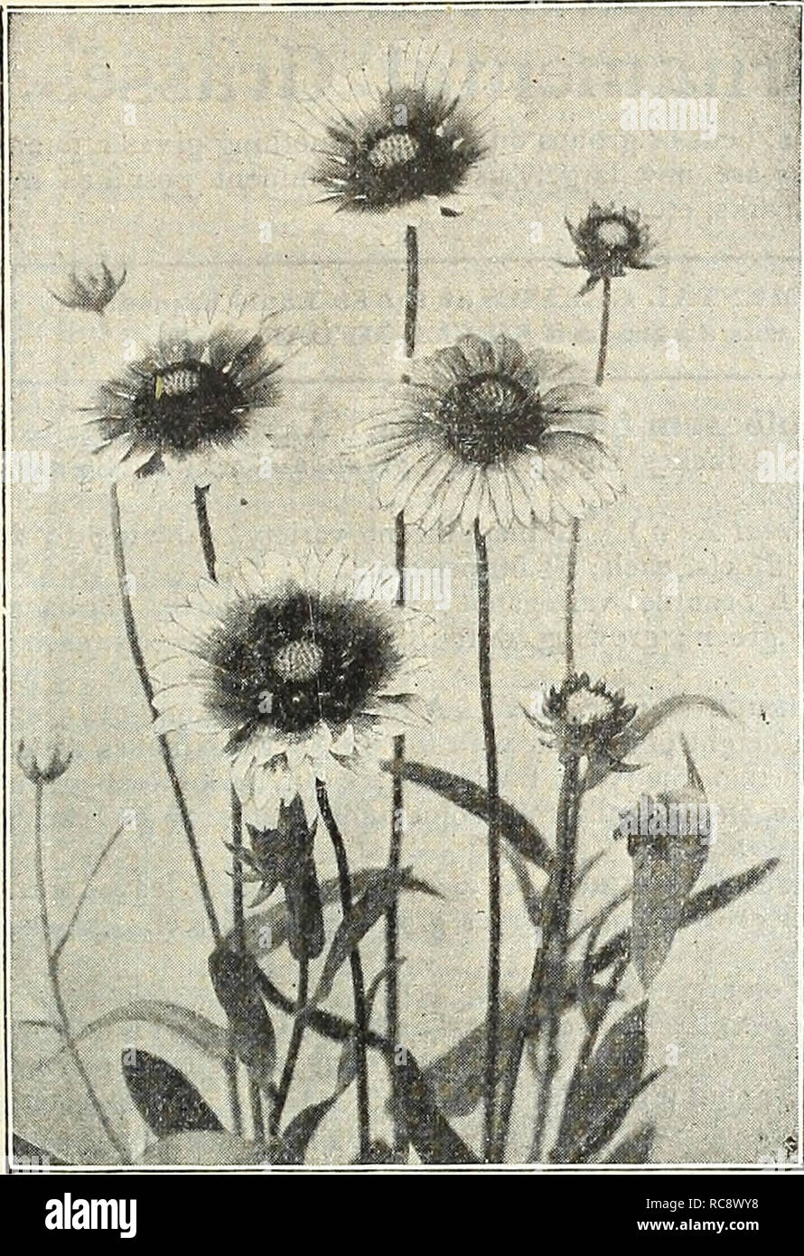 . Dreer's garden book : 1905. Seeds Catalogs; Nursery stock Catalogs; Gardening Equipment and supplies Catalogs; Flowers Seeds Catalogs; Vegetables Seeds Catalogs; Fruit Seeds Catalogs. 181. Gaillardia Gkanimflora. GI^OBUL,ARIA. A particularly pretty plant for a Tricosantha partially shaded position in tfie rockery, with small blue flowers in globular heads during July and August. '2o cts. each; $2.50 per doz. GUNNERA. Scabra. Probably the noblest of all hardy per- ennial decorative foliage plants, with leaves which, under favorable conditions, frequently measure 5 to 10 feet across, a well gr Stock Photo