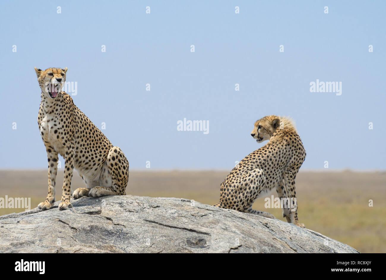 two cheetahs on rock - Stock Image