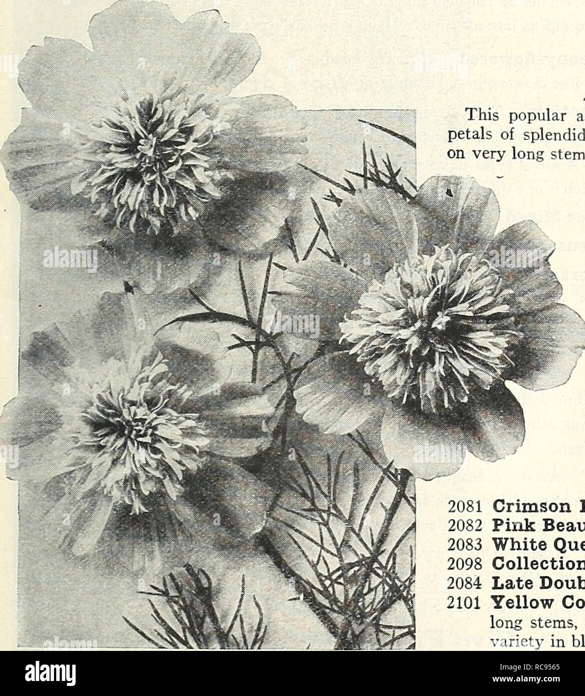 . Dreer's garden book 1929. Seeds Catalogs; Nursery stock Catalogs; Gardening Equipment and supplies Catalogs; Flowers Seeds Catalogs; Vegetables Seeds Catalogs; Fruit Seeds Catalogs. /flEHByA-Bimf RELIAiliE FLOWER SEEDS. >HIHBE[Wll| 81 COSMOS Beautiful summer and autumn blooming plants. They produce thousands of artistic flowers in pure white, pink and crimson shades, furnishing an abundance of cut blooms for autumn decorations when other flowers are scarce. Should be sown in Spring in the open ground, when danger of frost is past, or the seed may be started under cover and afterwards tran Stock Photo