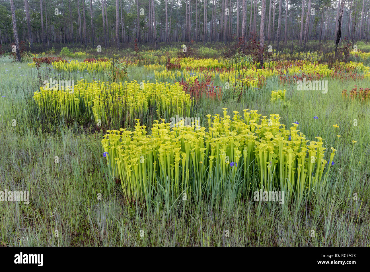 Yellow Trumpet Pitcher plants (Sarracenia flava) Post burn growth on perimeter of a carolina bay. Note the scattered blue blooms of Savannah Iris. - Stock Image