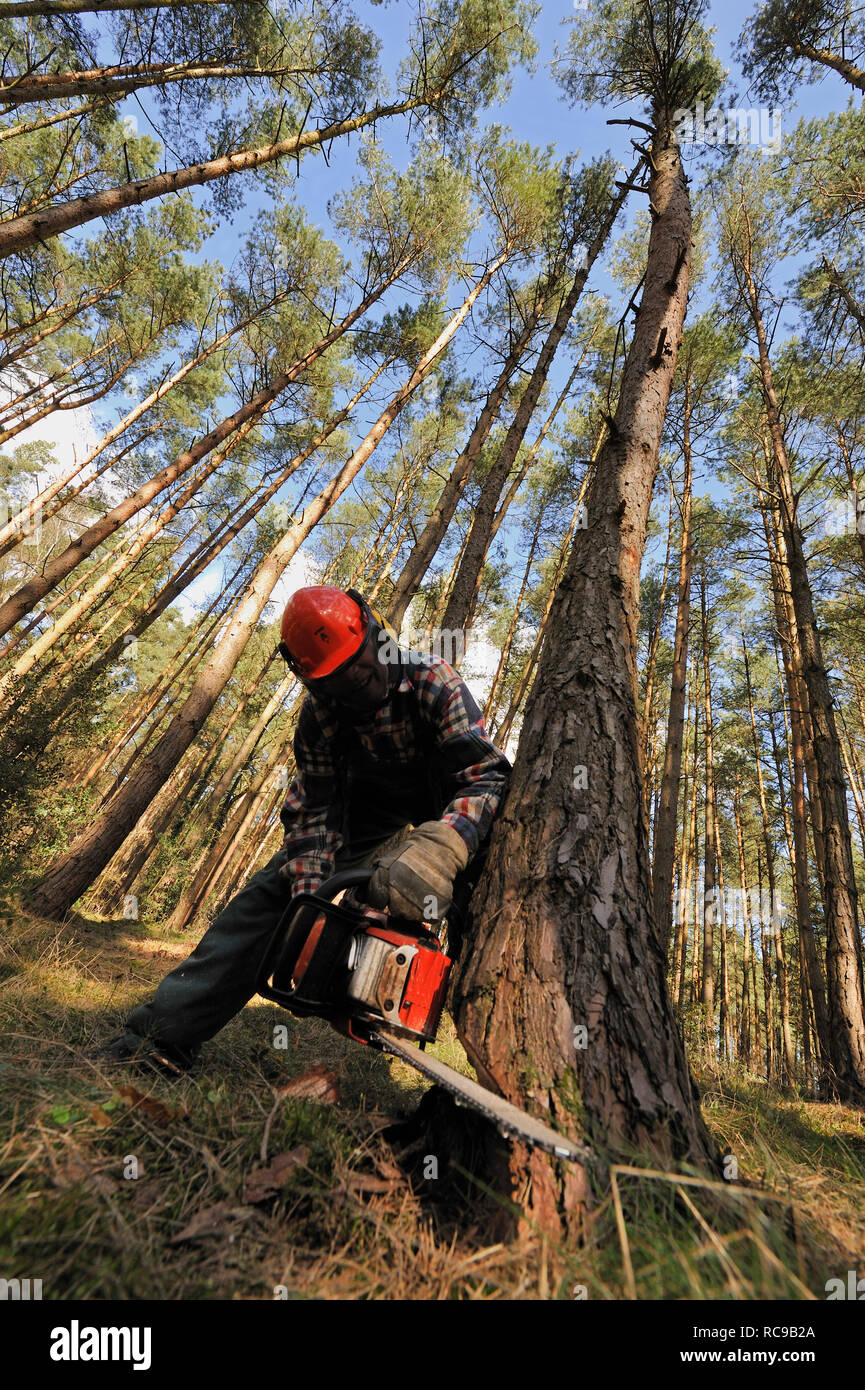 Holzfäller bei der Arbeit im Wald | wood feller working in the woods - Stock Image