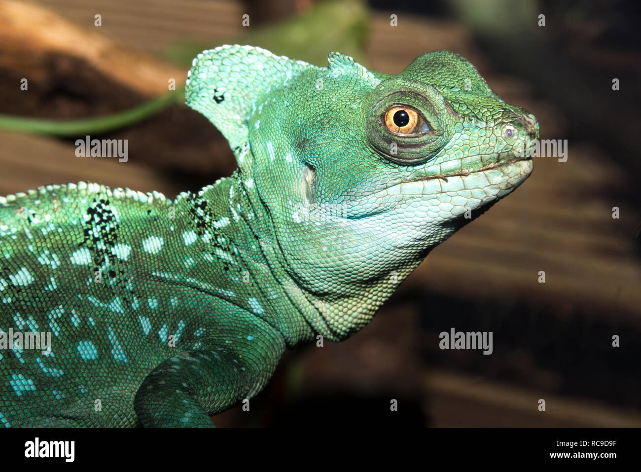 Plumed Basilisk (Basiliscus plumifrons) Stock Photo