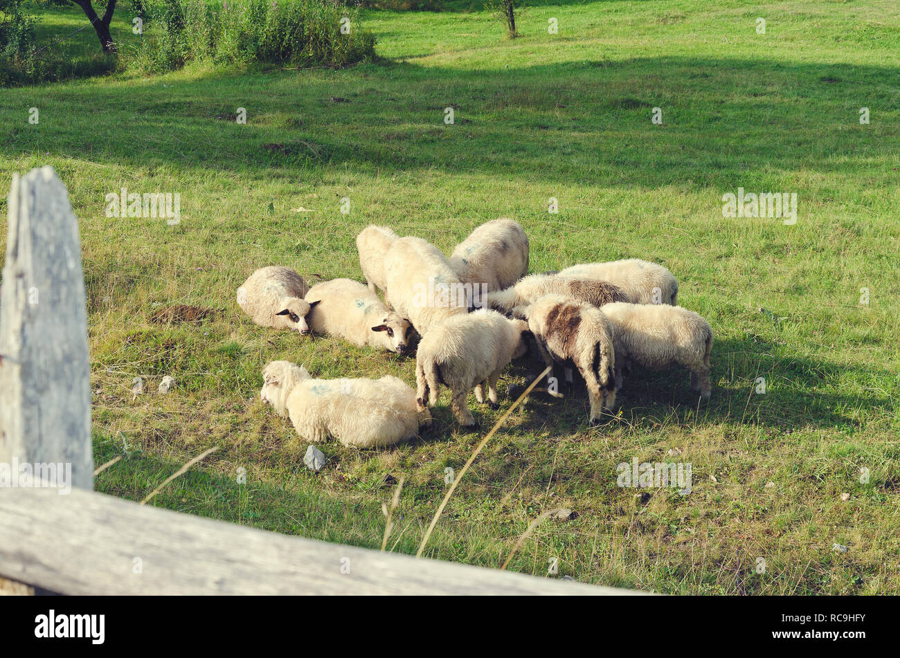 Herd of sheep resting on a green sunny meadow in mountain in Albania. Selective focus Stock Photo
