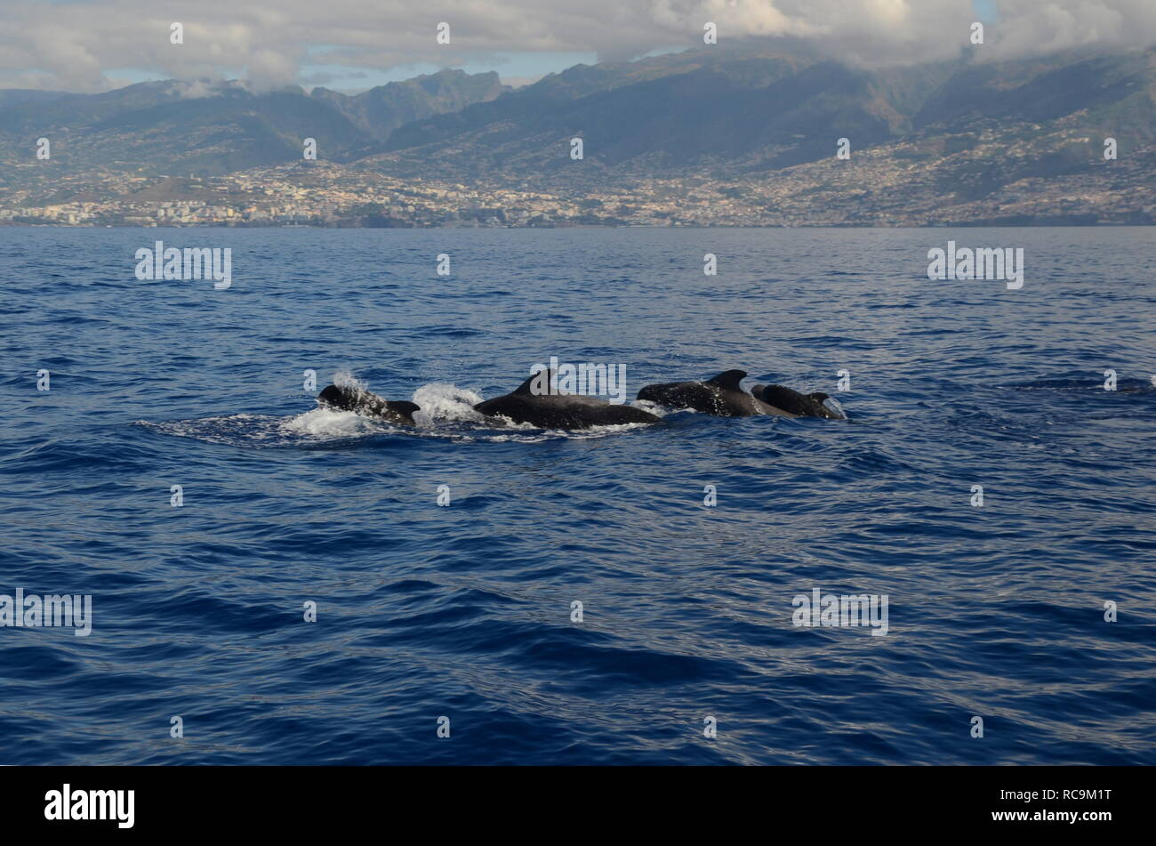 A group of tropical parrot whales at the coast of Madeira near Funcahl - Stock Image