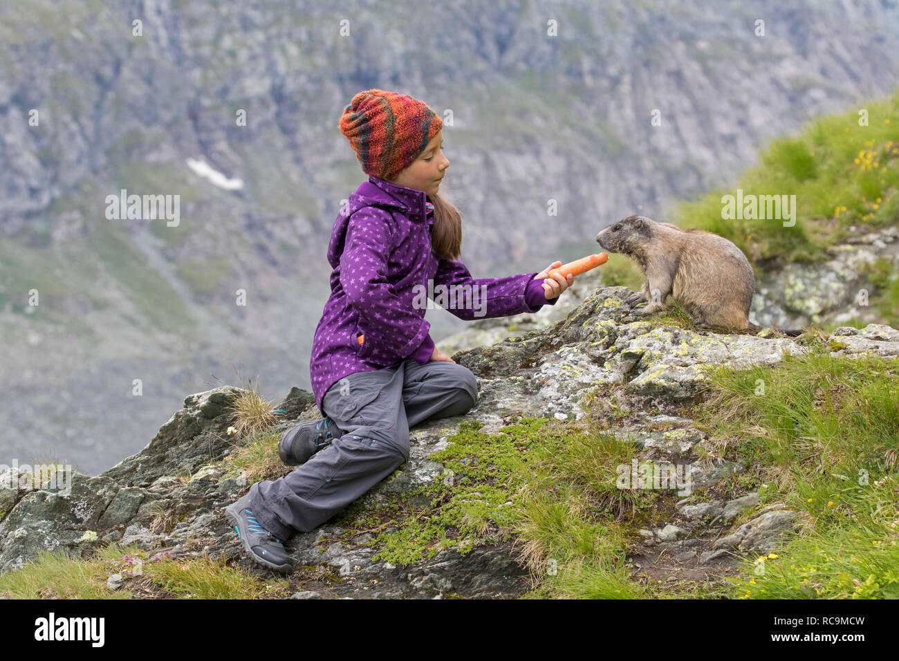 Child feeding carrot to tame Alpine marmot (Marmota marmota) in summer in the Alps - Stock Image