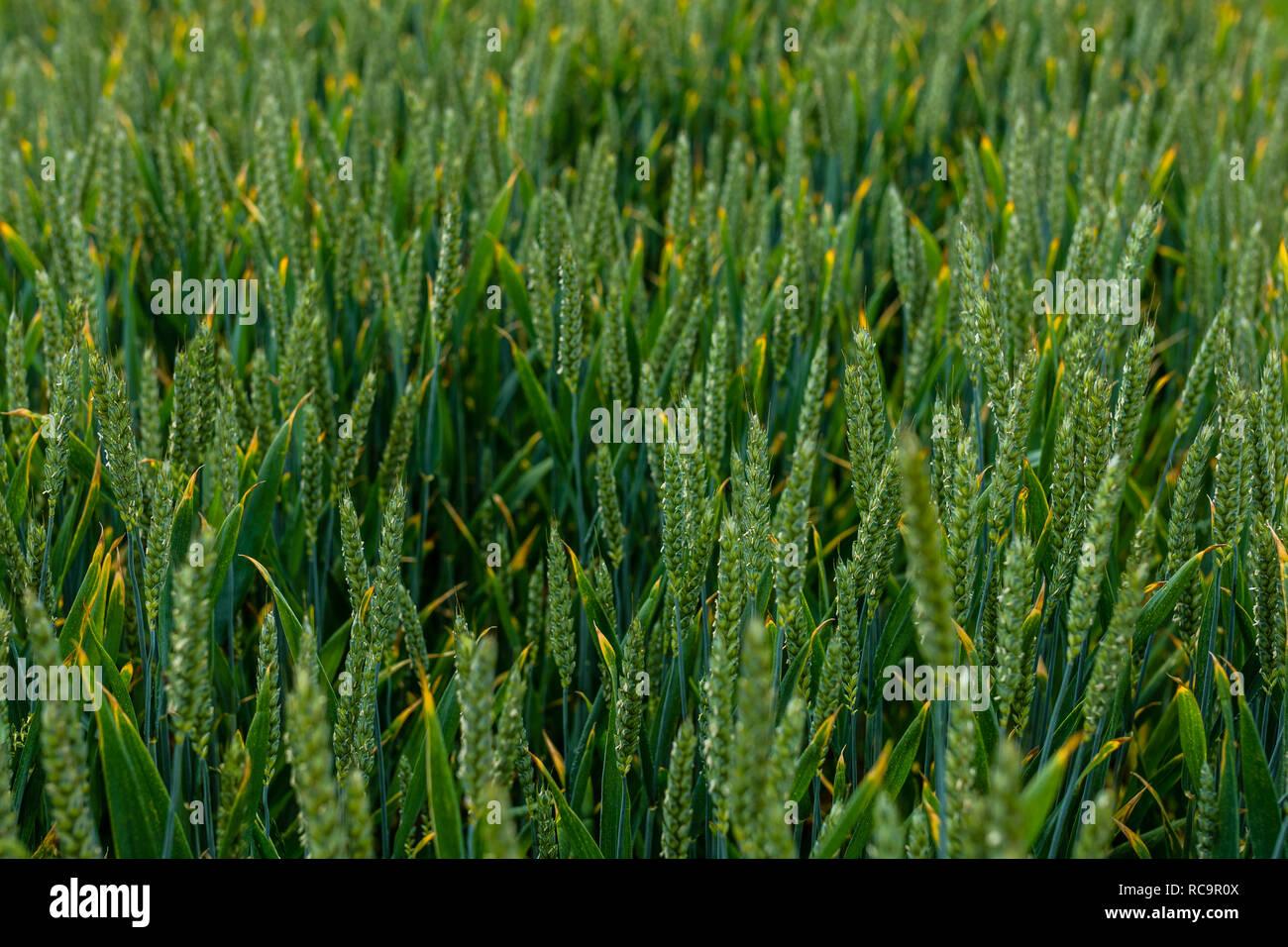 Field of Fresh Green Corn Grain Growing with depth of field - Stock Image