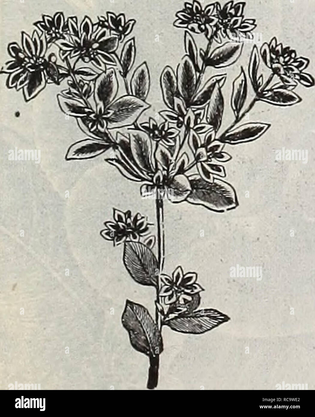 . Dreer's 1901 garden calendar. Seeds Catalogs; Nursery stock Catalogs; Gardening Equipment and supplies Catalogs; Flowers Seeds Catalogs; Vegetables Seeds Catalogs; Fruit Seeds Catalogs. 2469 2480 ESCHSCHOLTZIA. 15 EUPATORIUM. PHRPKT 2141 Fraseri. A very pretty her- baceous hardy perennial plant, blooming the first season from seed, producing clusters of snowy-white flowers; fine for cutting and bouquets; 1^ feet. FERNS. These ornamenlal plants are very de- sirable for WarJian cases or ferneries; thriving in a peaty, sanily soil, and moist, shady positions in the garden during the summer. The - Stock Image
