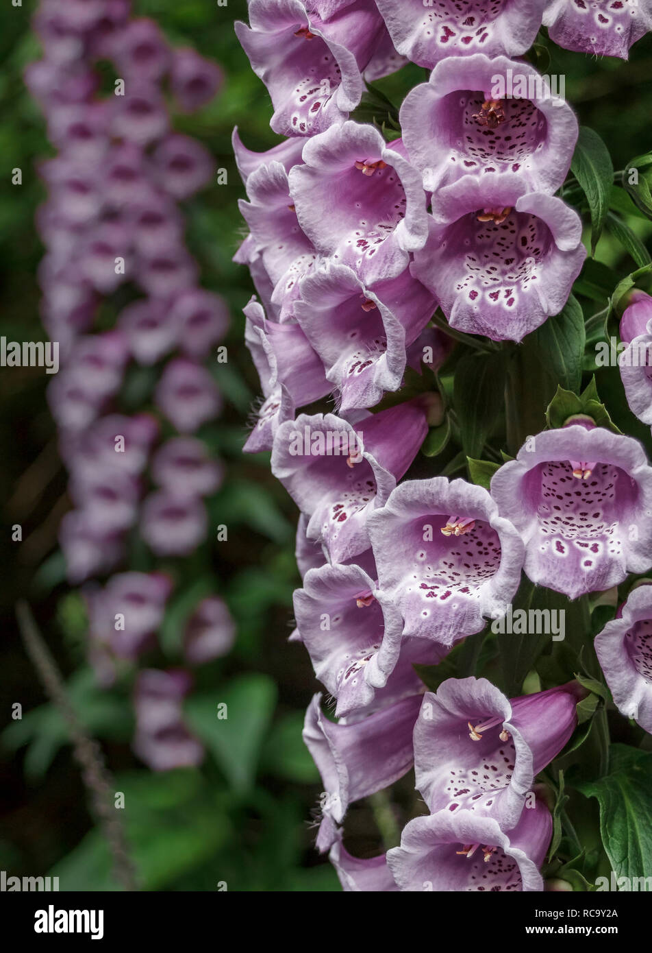 Foreground detail of flowers of a common foxglove (Digitalis purpurea), with another foxglove in the blurred background (vertical, natural light). - Stock Image