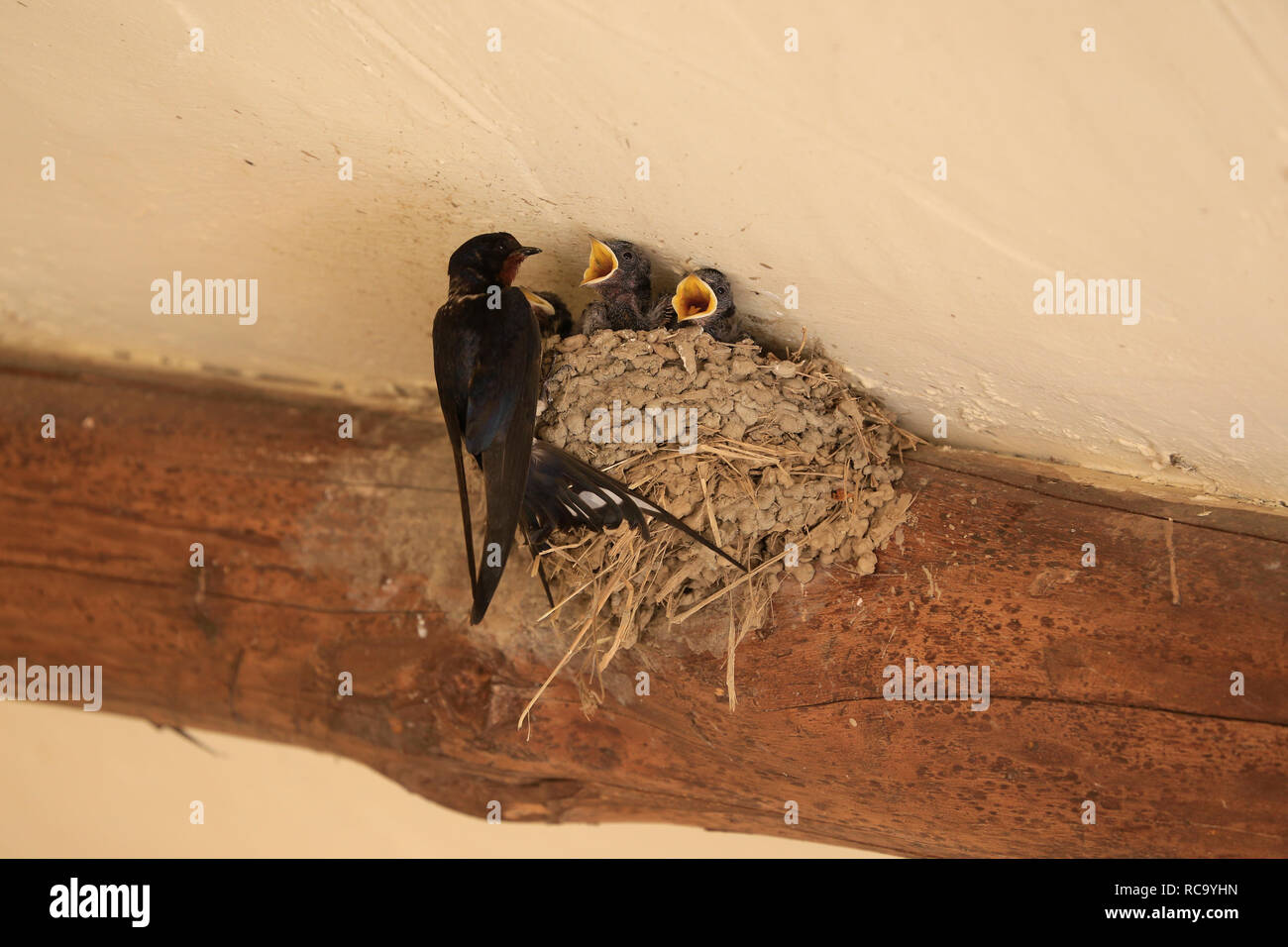 Tiny, baby, Swallow chicks with open mouths (beaks) in nest being fed by parent. - Stock Image