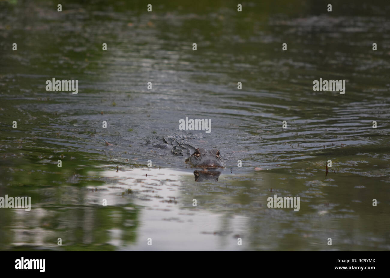 Scarey alligator swimming swiftly through the swamps of New Orleans. - Stock Image