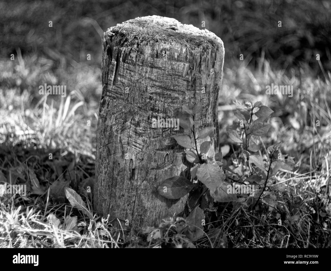 stump for chopping wood in the garden, black and white photo - Stock Image
