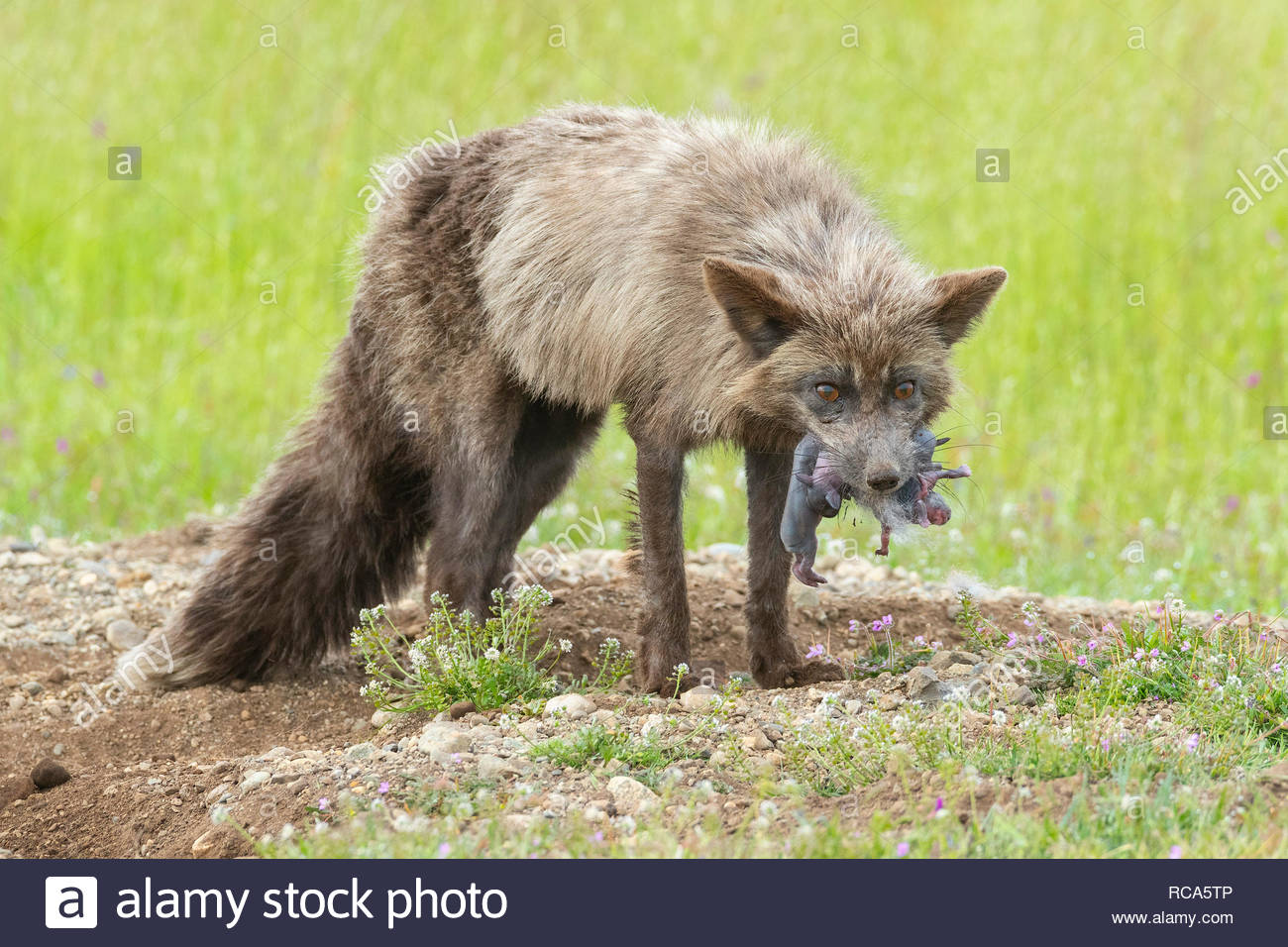 A red fox (Vulpes vulpes) emerges from a rabbit's den with a mouth full of newborn rabbits in San Juan Island National Historical Park on San Juan Isl - Stock Image