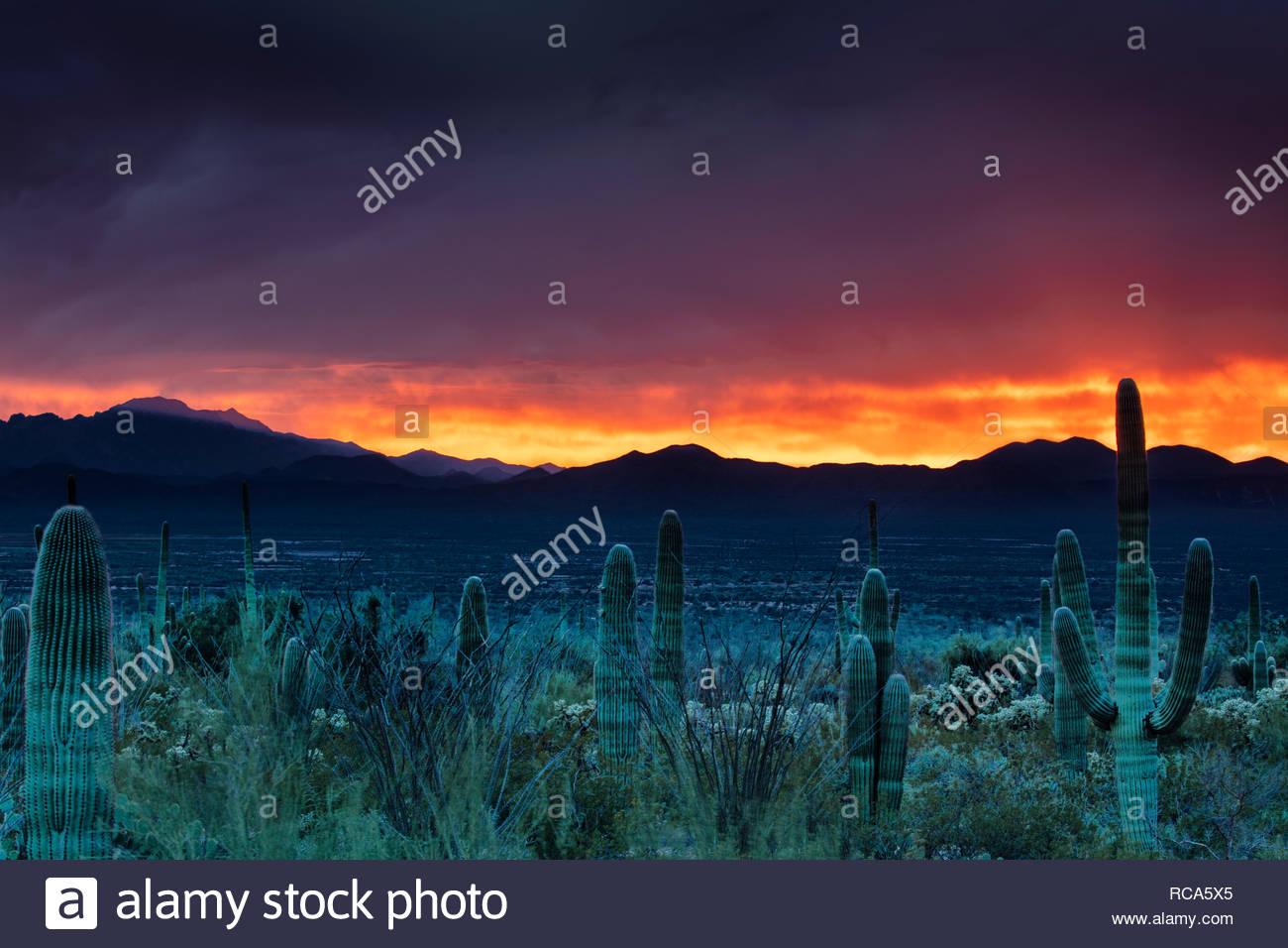 A fiery, late-autumn sunset colors the skies over the Coyote Mountains and the saguaros (Carnegiea gigantea) of Saguaro National Park near Tucson, Ari - Stock Image