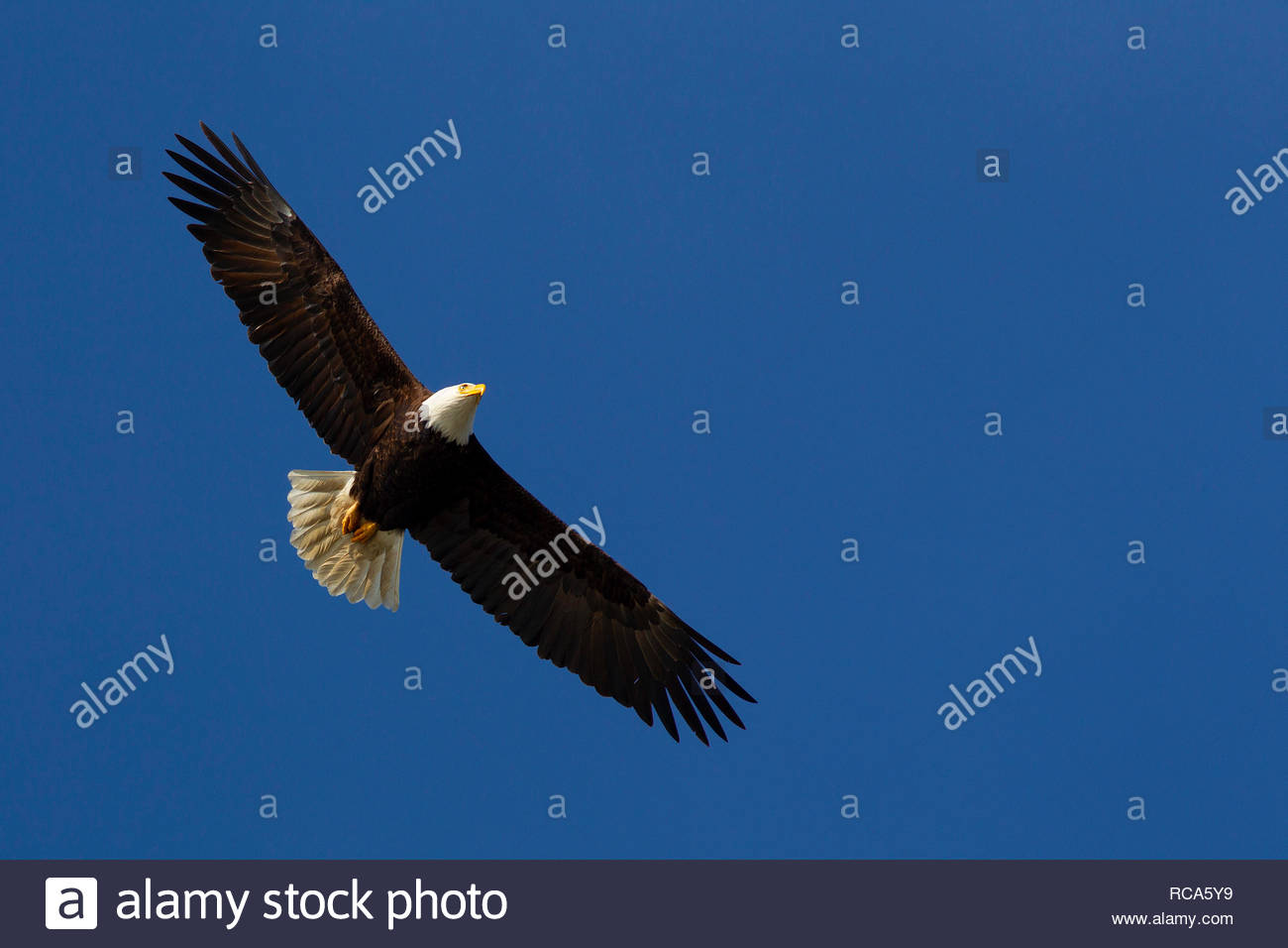 An adult bald eagle (Haliaeetus leucocephalus) soars against the solid blue sky over Drayton Harbor near Blaine, Washington. Stock Photo