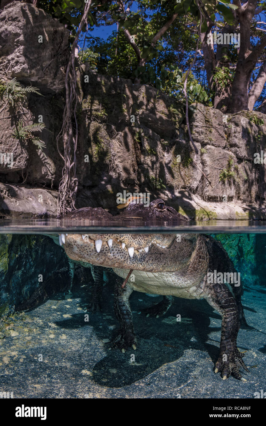 Over/Under images are certainly a favourite with any crocodilian. - Stock Image