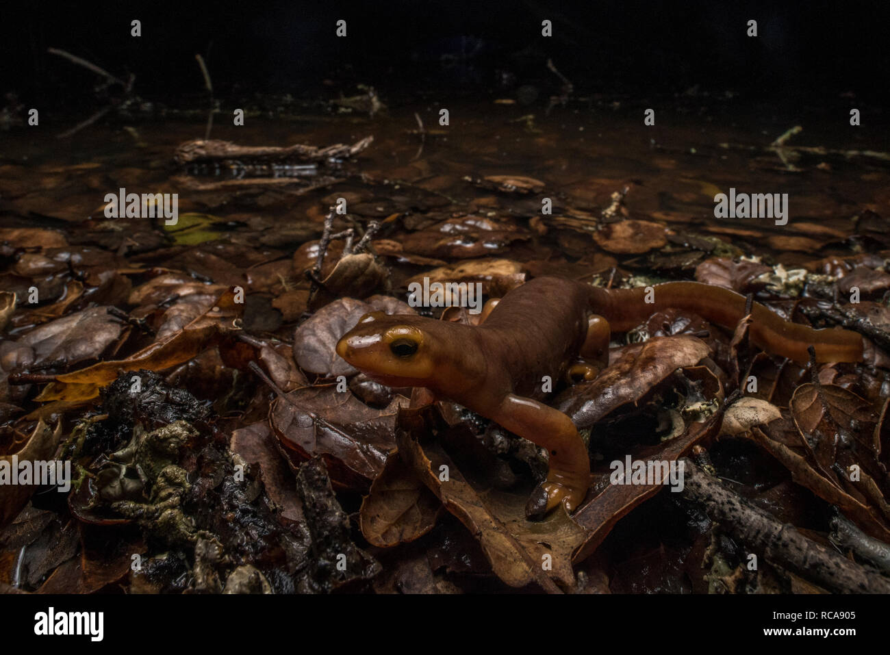 A california newt (Taricha torosa) a poisonous species of salamander found in California walks around the edge of its breeding pond at night. Stock Photo