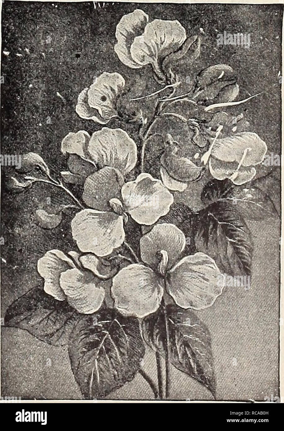 . Dreer's 1907 garden book. Seeds Catalogs; Nursery stock Catalogs; Gardening Equipment and supplies Catalogs; Flowers Seeds Catalogs; Vegetables Seeds Catalogs; Fruit Seeds Catalogs. Pansy Psyche. PETUNIA ROSY MORN. 3566 Petunias are one of our most effective summer blooming plants, and this new variety is probably the most striking yet introduced. It belongs to the small free-flowering section, and forms nice bushy fairly dwarf plants, which are cov- ered from early summer till hard frost with brilliant car- mine-pink flowers, with white throat and centre. For beds, baskets, vases and the ma - Stock Image