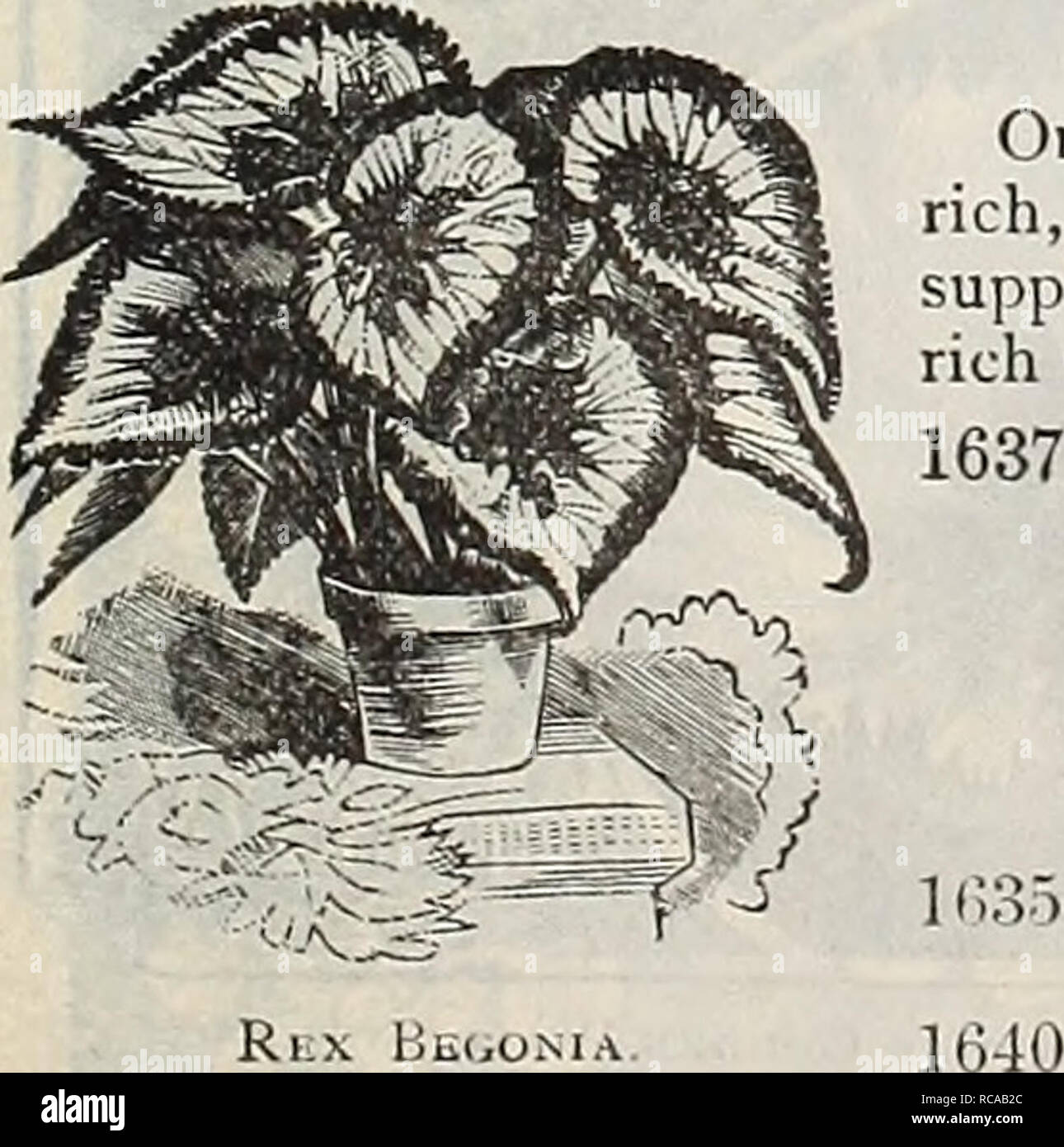 . Dreer's 1901 garden calendar. Seeds Catalogs; Nursery stock Catalogs; Gardening Equipment and supplies Catalogs; Flowers Seeds Catalogs; Vegetables Seeds Catalogs; Fruit Seeds Catalogs. BRYONOPSIS. 1641 Laciniosa. A beautiful annu.d climber of the gourd species, with ivy- like pale green foliage and showy fruit, first green striped w hite, turning, when ripe, to brighi scarlet striped white ; 10 feet. (See cut.) Brovvallia Spfxiosa Major. 0LD=FASH10NED FLOWERS. We offer collections of seed of both annual and per- ennial old-fashioned flowers on page 58. For index of Common or English names o - Stock Image