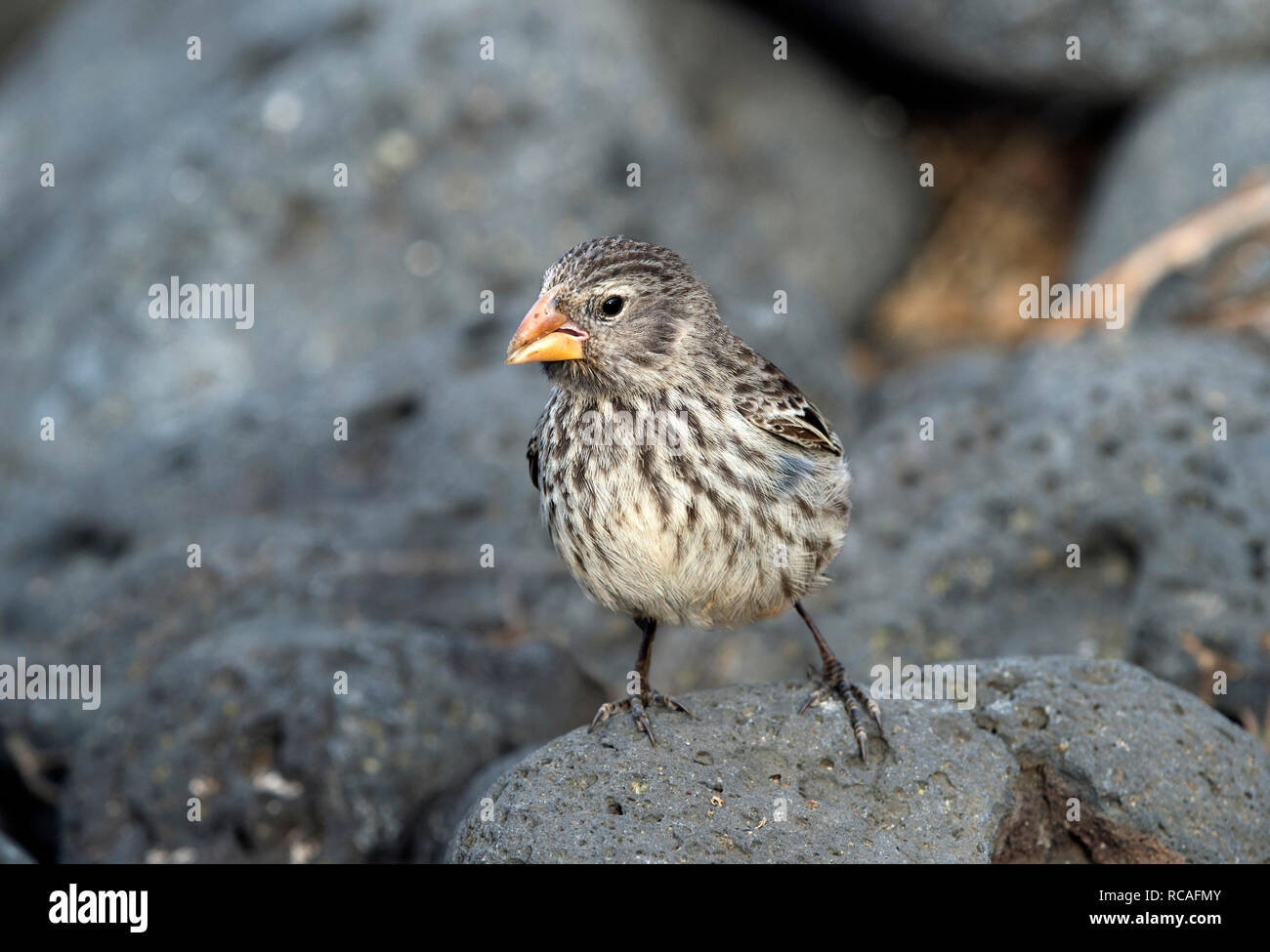 Small Ground Finch (Geospiza fuliginosa), Floreana  Island, Galapagos Islands, Ecuador - Stock Image
