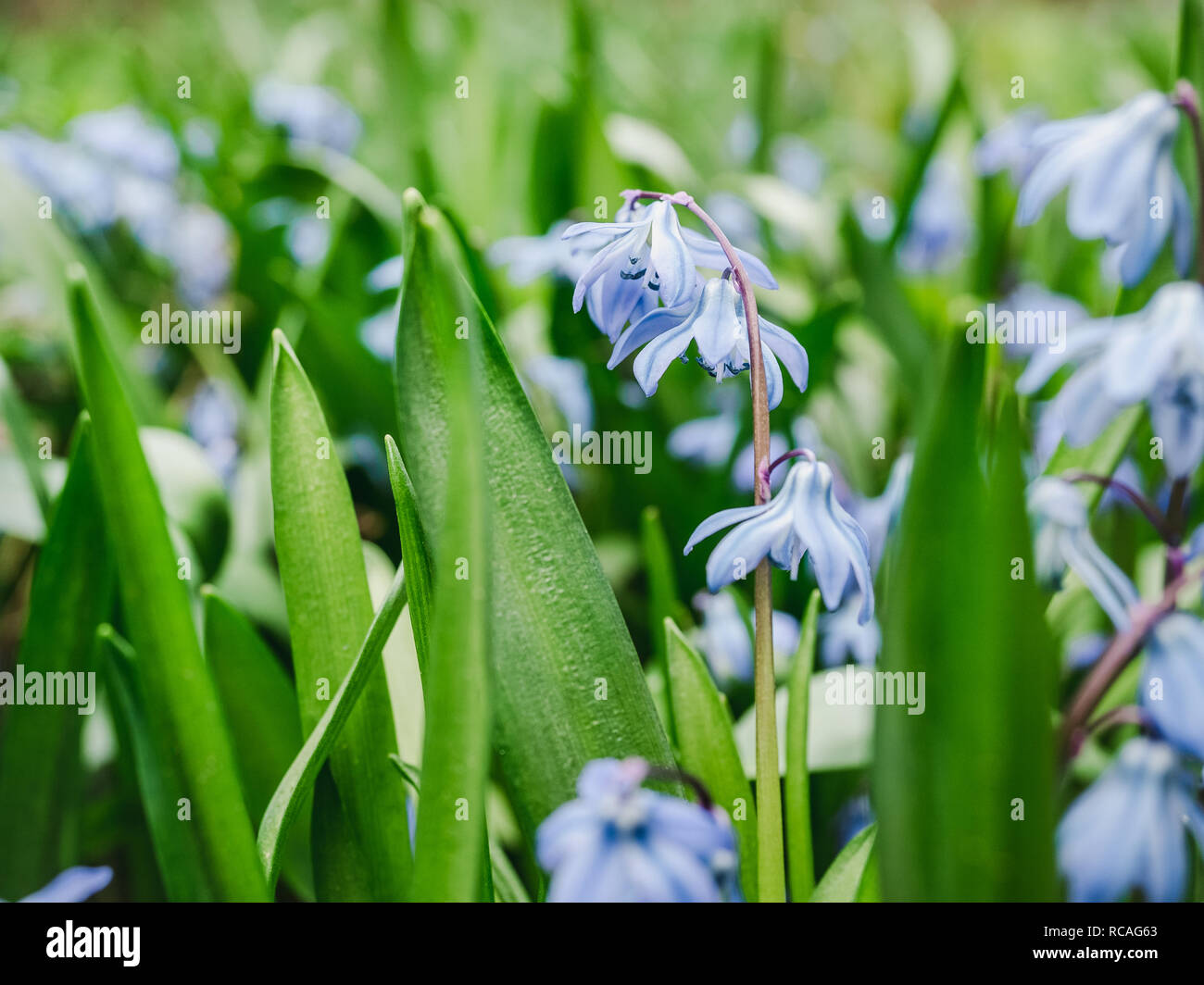 Early, bright, spring Scilla flowers on the background of young, green grass Stock Photo