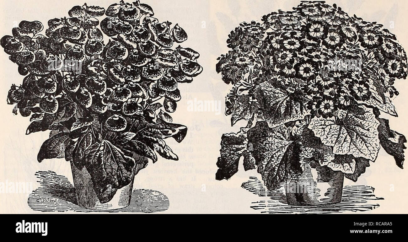 . Dreer's autumn catalogue : 1898 bulbs, plants, seeds &c. Bulbs (Plants) Catalogs; Flowers Seeds Catalogs; Gardening Equipment and supplies Catalogs; Nurseries (Horticulture) Catalogs; Fruit Seeds Catalogs. 42 Dreer's Autumn Catalogue, 1898. FLOWER SEEDS for autumn sowing. For Descriptions, see our Garden Calendar for 1898.. Calceolaria Gkandiflora Tigrina. CinerariaâDreer's Prize Dwarf. ACACIA. Mixed varieties ACHIMENES. Choice Mixed ALYSSUM, Benthaini coinpacta (Tom Thumb) desirable for pot culture â Little Gem. Very dwarf. â Sweet. White, trailing â Saxatile compactum. Yellow perennial - Stock Image