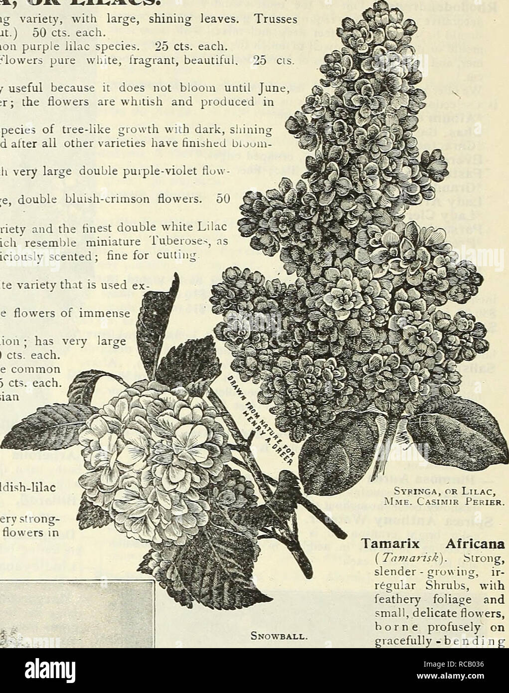 . Dreer's garden book : 1905. Seeds Catalogs; Nursery stock Catalogs; Gardening Equipment and supplies Catalogs; Flowers Seeds Catalogs; Vegetables Seeds Catalogs; Fruit Seeds Catalogs. Lilac Charles X. A strong, rapid growing variety, with large, shining leaves rather loose; large, reddish-purple. (See cut.) 50 cts. each. â â Common {Svr/no-a vulgaris). Fhe common purple lilac species. 25 cts. each. â Common White (^S. vulgaris alba). Flowers pure white, fragrant, beautifu each. â Emodi. Entirely distinct, and particularly useful because it does not bloom until June, when all other varieties  - Stock Image