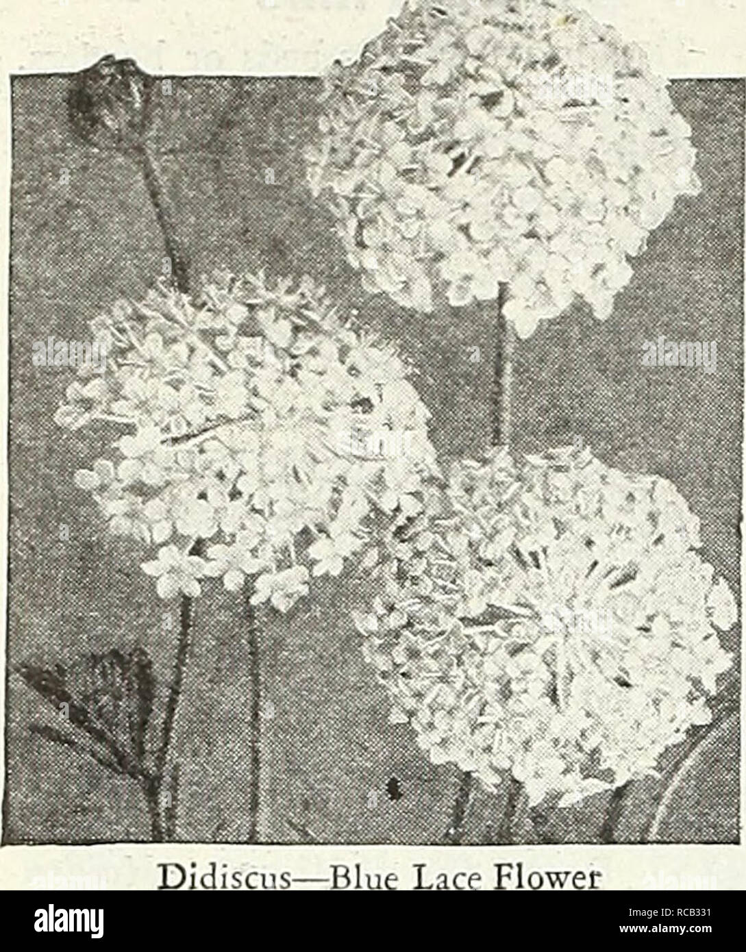 ". Dreer's 1948 - our 110th year. Seeds Catalogs; Nursery stock Catalogs; Gardening Equipment and supplies Catalogs; Flowers Seeds Catalogs; Vegetables Seeds Catalogs; Fruit Seeds Catalogs. &-.""!«. riuwei Didiscus Blue Lace Flotver @ 2311 Coeruleus. A very interesting and showy Australian annual bear- ing lacy, light lavender flower heads from July until frost. Excellent for borders and cutting. Grows 18 inches high. Pkt.-lOc; large pkt. 30c.. Please note that these images are extracted from scanned page images that may have been digitally enhanced for readability - coloration and appe Stock Photo"