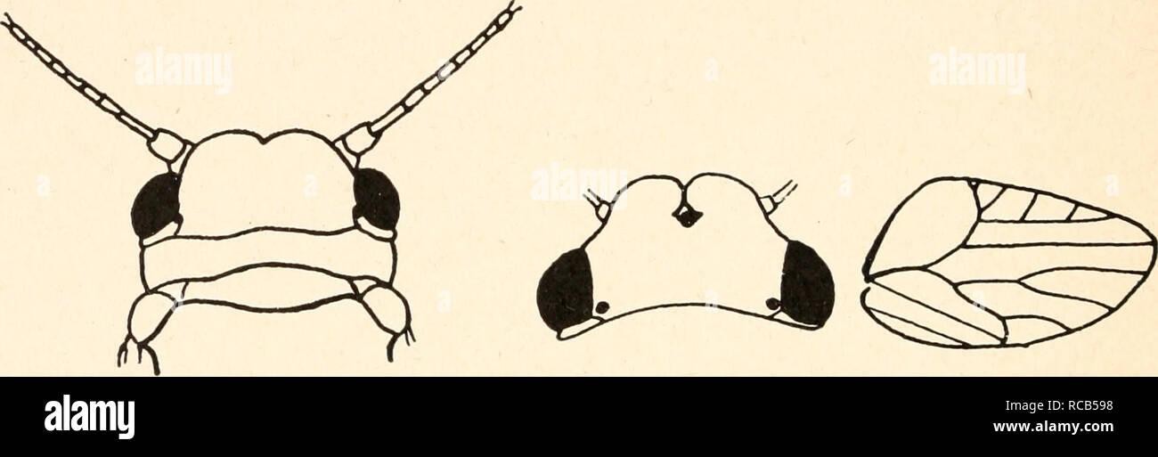 . Dr. H. G. Bronn's Klassen und Ordnungen des Thier-Reichs : wissenschaftlich dargestellt in Wort und Bild. Zoology; Mollusks; Arthropoda; Insects. VIII. b. y. 74 Psyllina Livia Latr. L. juncomm Latr. Die Larve verursacht die Vergällung der Blüte von Juncus zu einem dichten Blätterbüschel. Ganz Europa. Diraphia Waga. D. crefeldensis Mink. Erzeugt an der Sproßachse von Carex seitlich her- austretende Blätterbüschel. 3. Unterfamilie Aphalarinae Low. Aphalarinae Low 1879, Aphalararia Ferr. 1888, Put. 1899, Aphalaridae Edw. 1896, Liviinae, Aphalarini Crawf. 1914, Aphalarinae, Aphalarini End. 1920. - Stock Image