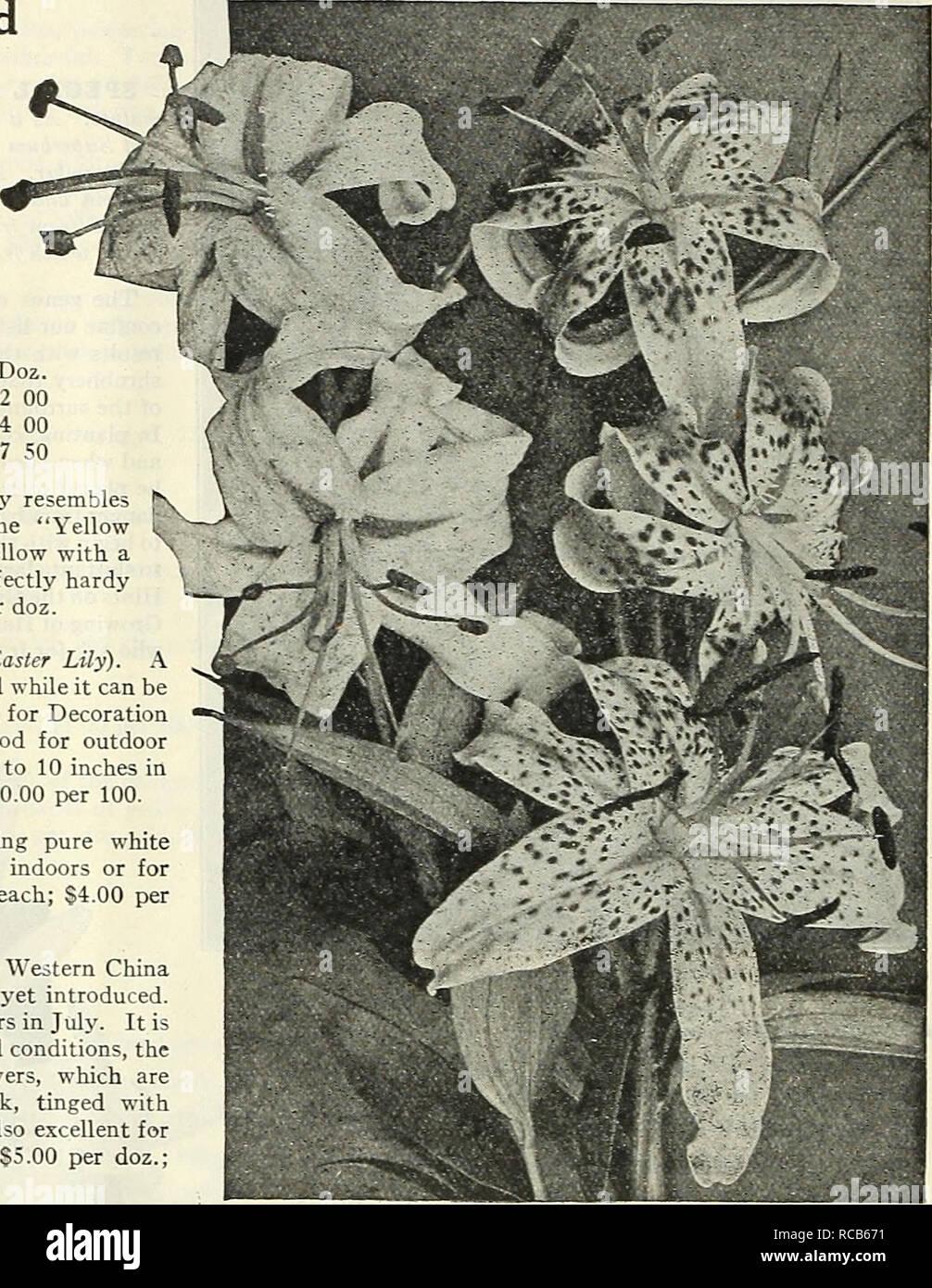 10 Triumphator Longiflorum Lily Purple /& White Flower Fragrant Summer Bulbs